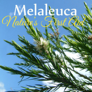 essential oils tea tree oil melaleuca